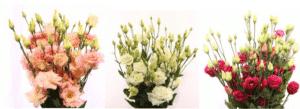 Eustoma bloemengroothandel