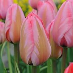 groot handel tulpen