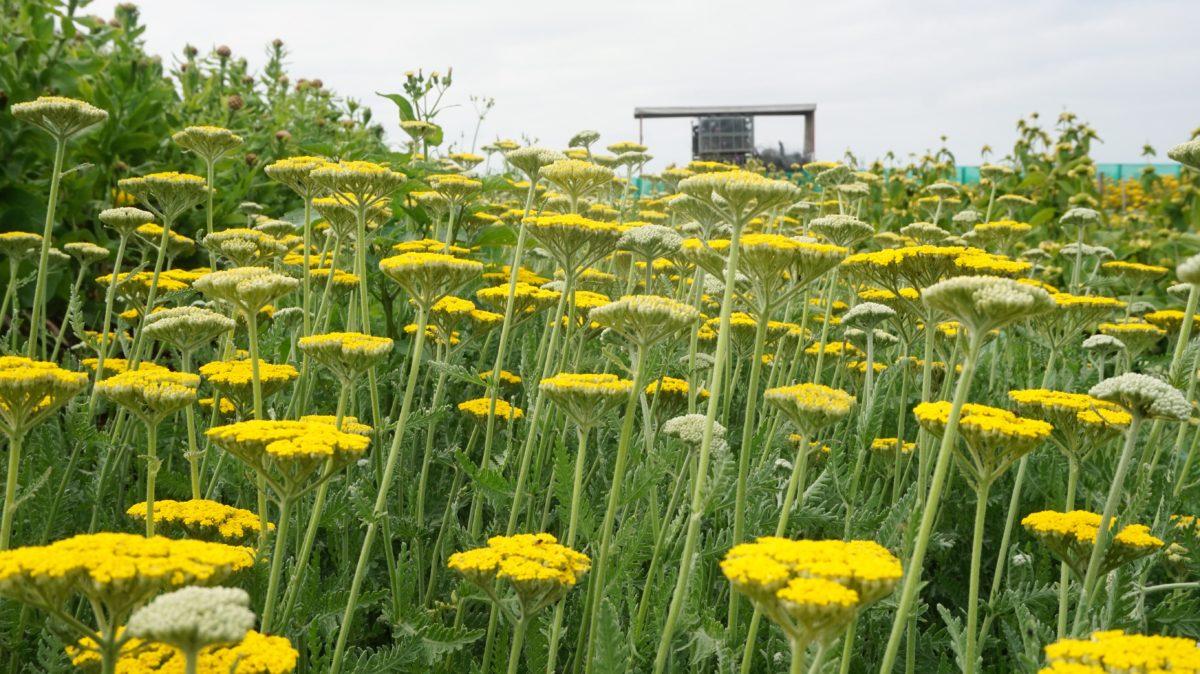 Biologische bloemen Bloomer