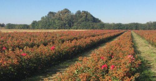 Nog meer rozenbottels