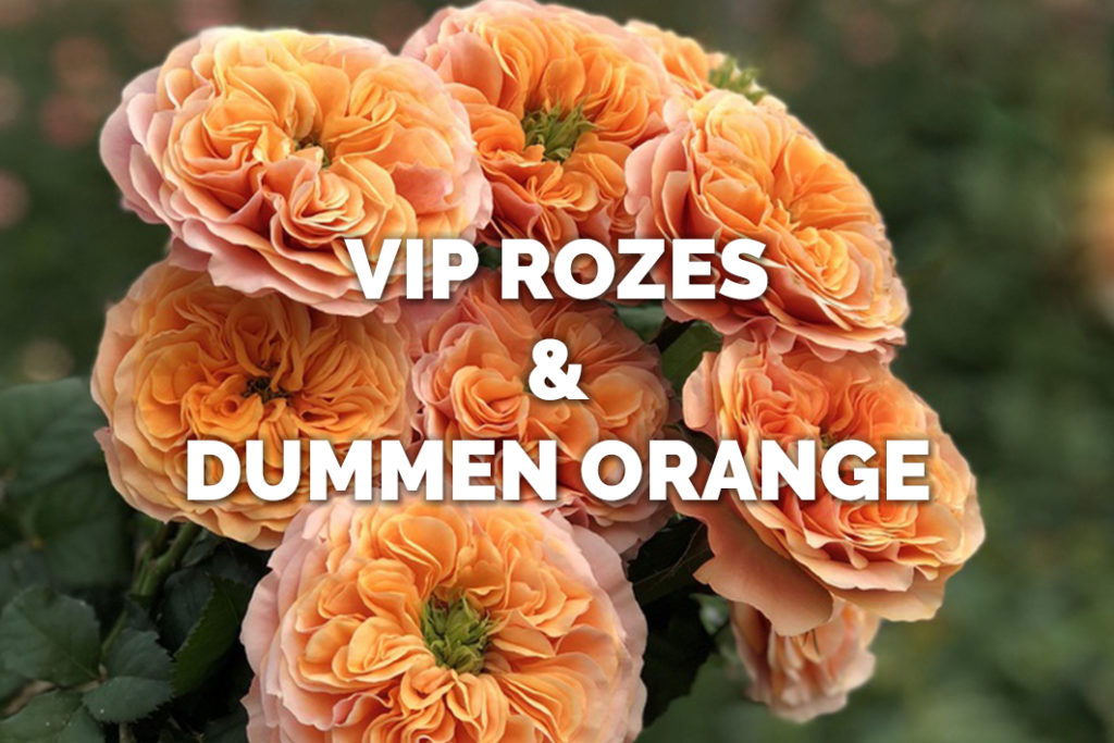 VIP Roses 'The Collection'